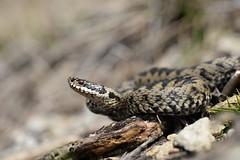 Another king of the hill - Adder (Vipera berus) (willjatkins) Tags: snakes snake snakesofeurope wildlife wildlifeofeurope europeanreptiles europeansnakes europeanwildlife britishwildlife britishamphibiansandreptiles britishreptilesandamphibians britishreptiles britishsnakes adder adders viperaberus viper vipera ukwildlife ukreptilesandamphibians ukamphibiansandreptiles ukreptiles uksnakes venomoussnake gloucestershirewildlife gloucestershire gloucestershirereptiles closeupwildlife nikond610 sigma105mm springwildlife spring rarewildlife