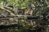 Broken Reflection (Norse_Ninja) Tags: japan2017 deer nara reflection journeyjd17 panasonic gh5