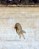 Hunting Coyote, Teton County, WY (4 Corners Photo) Tags: 4cornersphoto animal canine canislatrans color coyote grandteton grandtetonnationalpark hunting landscape mammal nature northamerica outdoor rockymountains rural scenery shadow snow spring tetoncounty unitedstates wildlife wyoming
