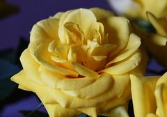 DSC_9023 (PeaTJay) Tags: nikond750 sigma reading lowerearley berkshire macro micro closeups gardens indoors nature flora fauna plants flowers bouquet rose roses rosebuds
