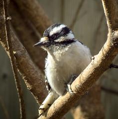Downy Woodpecker - female (mahar15) Tags: woodpecker birds outdoors wildlife nature downywoodpecker femaledownywoodpecker femalewoodpecker