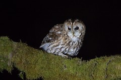 Tawny owl (dale 1) Tags: tawny owl hunting dark