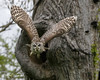 Barred Owl_T3W4181 (Alfred J. Lockwood Photography) Tags: alfredjlockwood nature wildlife raptor birds barredowl flight morning dawn colleyvillenaturecenter oaktree nest texas