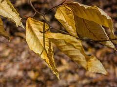 Leftover Leaves (John Kocijanski) Tags: leaves tree bokeh spring canong15 nature hbw