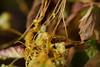 dao-66636_平原菟絲子(<i>Cuscuta campestris<-i>; Convolvulaceae 旋花科) (mutolisp) Tags: angiospermae angiosperms asteranae convolvulaceae cuscuta cuscutacampestris magnoliopsida plantae solanales spermatophytina taiwan tracheophyta lamiids location mutolisp plants 唇形類 平原菟絲子 旋花科 木蘭綱 植物界 種子植物亞門 維管束植物門 茄目 菊超目 菟絲子屬 被子植物 tw fruits
