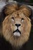 Caesar @ Artis 07-05-2017 (Maxime de Boer) Tags: caesar african lion afrikaanse leeuw panthera leo big cats katachtigen natura artis magistra zoo amsterdam animals dieren dierentuin gods creation schepping creator schepper genesis