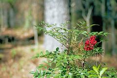 Nandina (Fiddling Bob) Tags: nandina heavenlybamboo film mediumformat pentax645 smcpentaxa8016045 berries red dof portra