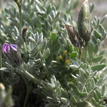 Parry oxytrope, Oxytropis parryi thumbnail