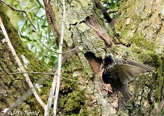 Étourneau sansonnet arrive au nid !