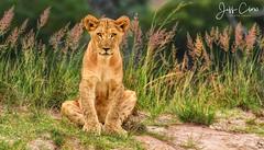 Wild Cub on the Hill (Jeff Clow) Tags: jeffrclow jeffclowphototours wildlife wild lion cub animals photosafari