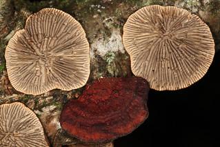 Daedaleopsis tricolor (= Daedaleopsis confragosa var. tricolor), le lenzite tricolore.