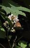 Meadow Brown (D R Swift) Tags: butterfly meadowbrownbutterfly meadowbrown westkirby wirral