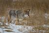 Prairie Coyote (Turk Images) Tags: canislatrans jaspernationalpark prairiecoyote alberta canidae mammals winter hunting