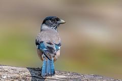 I am telling you... (chandra.nitin) Tags: animal bird blackheadedjay nature outdoor wildlife fatehpurrange uttarakhand india