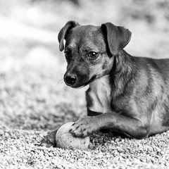 Rhianna21Apr2018103-Edit.jpg (fredstrobel) Tags: dogs pawsatanta phototype atlanta blackandwhite usa animals ga pets places pawsdogs decatur georgia unitedstates us