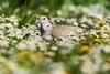collared dove/ Türkentaube (nbs.fotografie) Tags: collareddove türkentaube dove taube bird animal wildlife nikon vogel tier