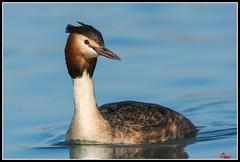 Svasso Maggiore (torben84) Tags: svasso maggiore podiceps cristatus nikon d7200 tamron natura nature animal bird