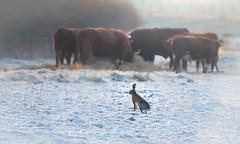 Hoe een koe een haas vangt (Ingeborg Ruyken) Tags: dropbox zonsopkomst februari sunrise winter empelfilmpjewinter2018 morgen frost february flickr snow sneeuw morning koe hare empel haas koud dawn 500pxs cow kanaalpark natuurfotografie rodegeus ochtend vorst cold