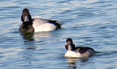 006(1) Lesser Scaup (baypeep) Tags: scaup duck
