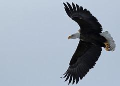 Bald Eagle...#3 (Guy Lichter Photography - 3.9M views Thank you) Tags: canon 5d3 canada manitoba wildlife animal animals birds eagle eagles baldeagle