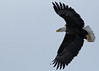 Bald Eagle...#3 (Guy Lichter Photography - 3.7M views Thank you) Tags: canon 5d3 canada manitoba wildlife animal animals birds eagle eagles baldeagle