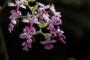 In the shadows (Irina1010) Tags: orchid beautiful flowers tropical glasshouse pink darkbackground droplets water nature canon coth5