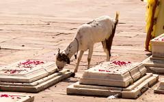 Tombstones covered in rose petals at Fatehpur Sikri - and a goat! (amanda & allan) Tags: fatehpursikri agra uttarpradesh india fatehpur sikri goat petals rose tombstone