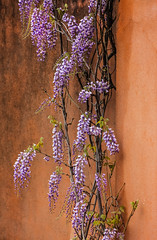 wisteria bloom (Karol Franks) Tags: wisteria blooming flower flowers spring terracotta wall walking local socal southpasadena california purple violet sweet scent