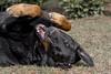 Des caresses  sur le ventre  svp... (Elyane11) Tags: chien thonon ashton loulou dos beauceron compagnon
