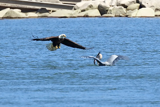 Bald Eagles Harass a Great Blue