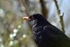 Looking for trespassers! (AndyorDij) Tags: birds england empingham rutland uk unitedkingdom gardens 2018 andrewdejardin blackbird turdusmerula