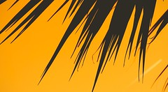 C.Australis (Torquay Palms) Tags: united kingdom gb great britain england south devon westcountry torbay tor bay torquay abbey park yellow contrail summer the english riviera cabbage tree cordyline australis caustralis palm