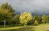Acer Drumodii, Roswells Garden-4004 (Gordon16854) Tags: 2009 flowersandplants june rosewellsgarden acer acerdrumondii trees