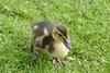 DSC04533 (sunyschmidt) Tags: duck babyduck babyente ente holland amsterdam gras grün green nature natur leben life beauty tiere tier animal animals