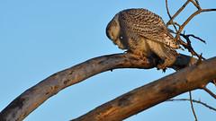 DSC_0582_edit (Hanzy2012) Tags: nikon toronto ontario canada wildlife bird owl snowyowl buboscandiacus afsnikkor500mmf4difedii d500