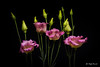 Eustoma (Magda Banach) Tags: canon canon80d eustoma sigma150mmf28apomacrodghsm blackbackground buds colors flora flower green macro nature pink plants
