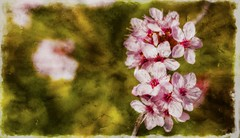 Flowers .. like painting .. (Julie Greg) Tags: painting flower nature texture spring england canon5dmarkiv