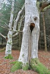 Beech (BurnThePlans) Tags: woods forest trees nature outdoors walk scotland highlands