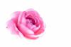 """52 Weeks - 2018  - Week 12 - Intentional Out of Focus (norasphotos4u) Tags: canon5dmkiv macro ©noraleonard pink flowersplants 52weeks2017edition flowers social lensbaby velvet85 """"week122018 52weeksin2018 weekstartingmondaymarch192018 intentionaloutoffocus"""""""
