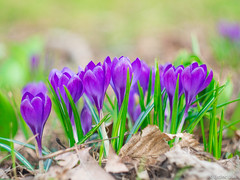 Crocus (✦ Erdinc Ulas Photography ✦) Tags: lenstagger purple flower crocus netherlands dutch holland bloem hoorn city park green paars focus macro grass nature bokeh smooth background lente spring leaf forest bos helios colourful close krokus