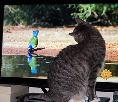 Hi Def realism (Jersey JJ) Tags: hd hi def realism cat bird tv flat panel belladonna