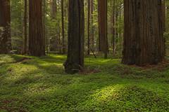 Oxalis Oregana Overture (Bob Bowman Photography) Tags: sorrel redwoods green light oldgrowth forest humboldtcounty california trees carpet plant herb fresh