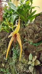 2018-03-26_09-55-59   Brassavola (Kaemattson) Tags: orchid denver botanic garden co colorado dbg denverbotanicgarden denverco brassavola yellow red epiphyte