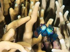 Courtship of The Mandarinfish (altsaint) Tags: 45mm gf1 panasonic cebu macro mandarinfish maolboal philippines underwater