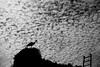 Stork, Chellah, Rabat, Morocco (Jordan Barab) Tags: stork rabat morocco sonydscrx100markiii street streetphotography bird blackandwhite bw clouds