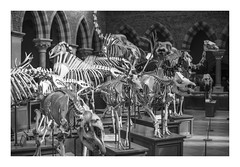 Bones (Reckless Times) Tags: bones museum pitt rivers natural history oxford university animal nikon d750 100x project