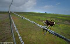 Shrike Cache (Marisa.Ishimatsu) Tags: loggerheadshrike shrike bird cache