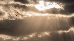 Turning tern (ER Post) Tags: bird florida2018 gulls tern trips godrays sunrise