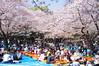 Hanami Life, Tokyo, Japan 花見 (runslikethewind83) Tags: japan tokyo life sakura spring hanami park picnic primavera japon flordecerezo 花見 桜 春 cherryblossoms