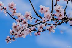 Frühling an der Weinstraße (WiSch | Foto) Tags: 2018 wischfoto edenkoben orte süden wetter ostern pfalz weinstrase südwesten mandelblüte april rheinlandpfalz deutschland de